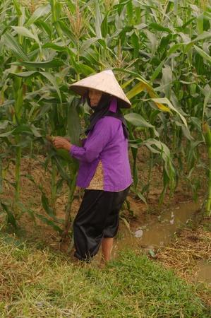 Grand-Mère de Kinh (Viêt) DANS SES champs de maïs.