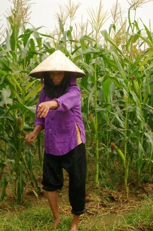 re: grand-mère de Kinh (Viêt) dans ses champs de maïs.