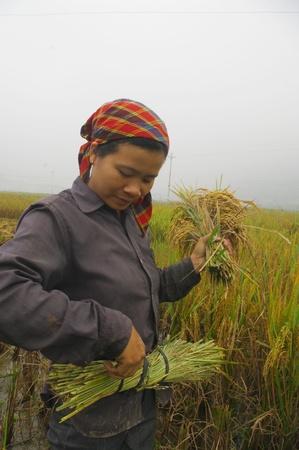 qui: Cette femme lie une gerbe de riz avec un geste pr�cis qui montre une grande habitude .Elle prend un lien de la botte attach�e � sa ceinture
