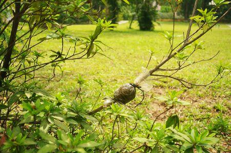 arbres: marcottage ou bouturage