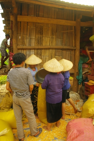 conical hat: Threshing corn in Thai village  In all ethnic groups las great action in agriculture is a collective action  Despite the poverty people are a celebration of this event