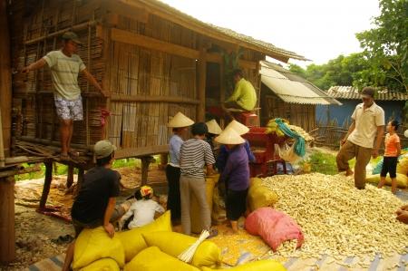 Threshing corn in Thai village Editorial