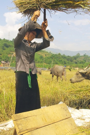 Portrait of a Thai woman in the harvest
