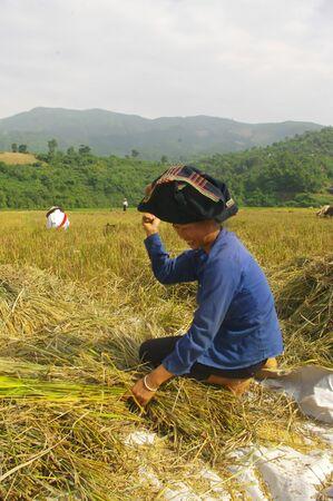 Thai woman harvesting