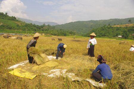 Harvest scene in Thai country