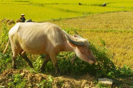 Albino water buffalo
