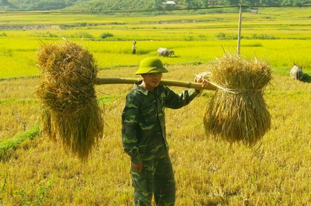 This young soldier carries sheaves of rice with a stockade  He came to help her family harvest