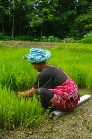 Akha woman in the rice field