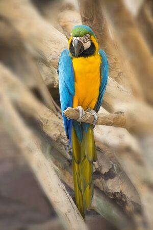 ararauna: The blue and Gold macaw (Ara ararauna) Stock Photo