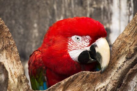 The Green-winged macaw (Ara chloroptera) Stock Photo