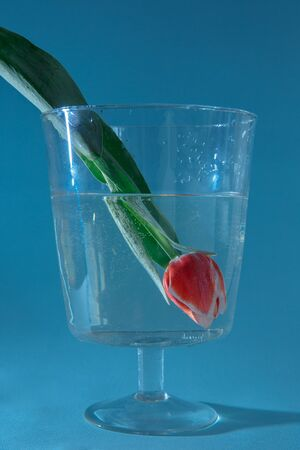 Red tulip with leaves dipped upside down in the water. Bubbles formed on the leaves and bud. The picture was taken on a plain blue background.