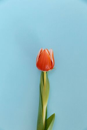 A red tulip bud lies in the middle of the frame. Green leaves hug the stem tightly. The edges of the bud petals are painted white. The flower lies on a blue background.