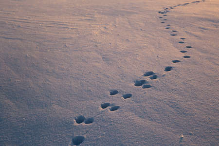 Dog footprints in the glistening snow. The snow glows blue and yellow from the setting sun. Footprints lead from one corner of the frame to another. High quality photo