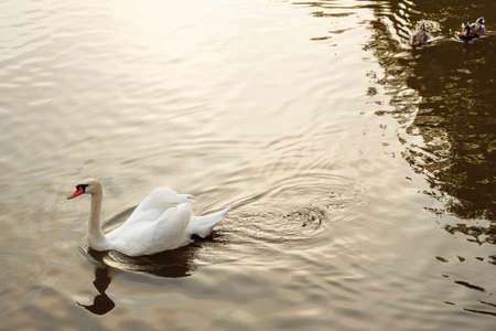 A white lonely swan floats on dark water. Circles in the water emanate from the swan. x. High quality photo