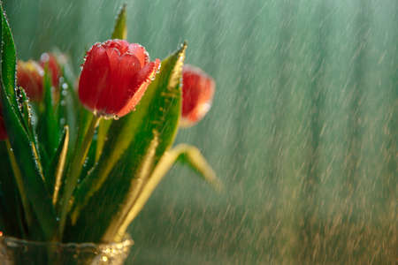 Bouquet of tulips in a vase. Tulips blossomed in red flowers. The bouquet is covered with rain drops. Drops are falling in the background. High quality photo Standard-Bild