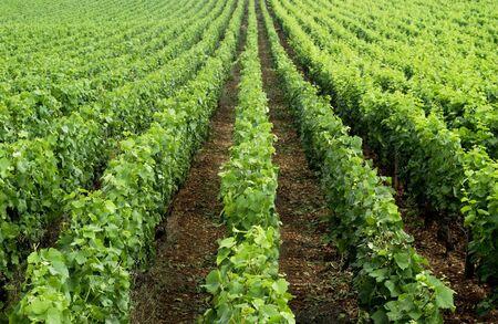 Vineyard Imagens