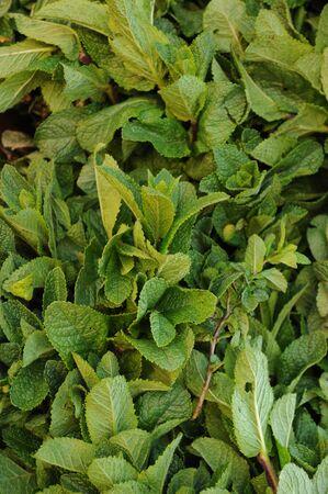mentha: puesto de menta en el mercado en la Provenza Cavaillon Foto de archivo