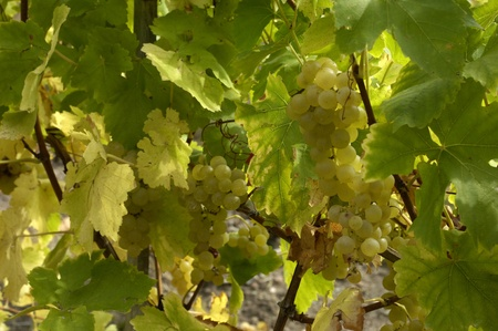 France, vineyard of Riquewihr in Alsace photo