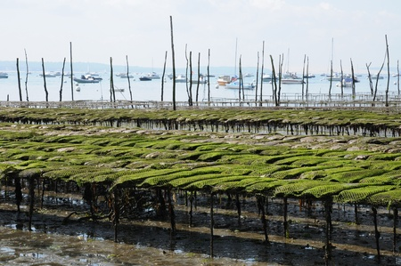 herbe: France, oyster farming on the coast of l Herbe Stock Photo