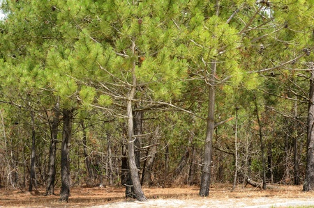 France, the maritime pine forest of Lacanau Ocean In Gironde Stock Photo - 13341134