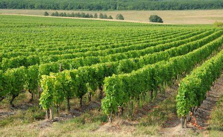 sauternes: France, the vineyard of Sauternais in summer Stock Photo