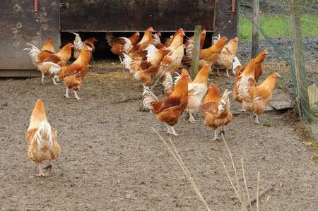 capon: France, poultry farming in Brueil en Vexin