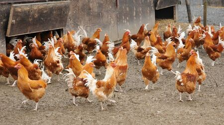 en: France, poultry farming in Brueil en Vexin