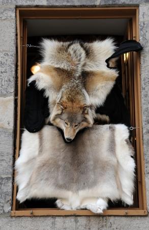 Canada, Quebec, fox pelt in shop Stock Photo - 16960637