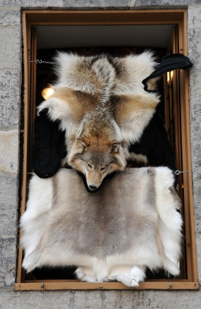 Canada, Quebec, fox pelt in shop Stock Photo - 16960637