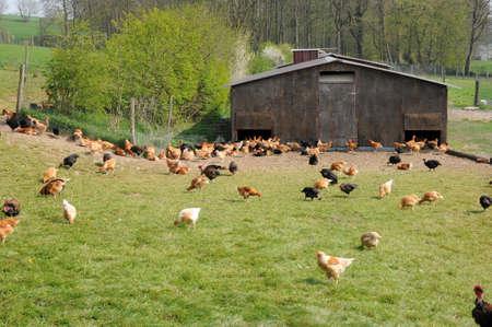 henhouse: France, poultry farming in Brueil en Vexin