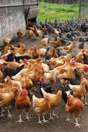 henhouse: Ile de France, poultry farming in Brueil en Vexin