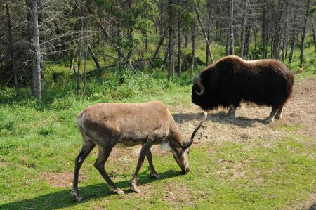 Canada, Quebec, bison and a caribou in zoo photo