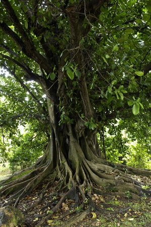 feigenbaum: Frankreich, ein Feigenbaum in Martinique