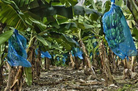 martinique: Francia, plantaci�n de banano en Martinica