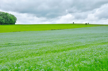 bois: France,  flax field in Bois Guilbert in Normandie Stock Photo