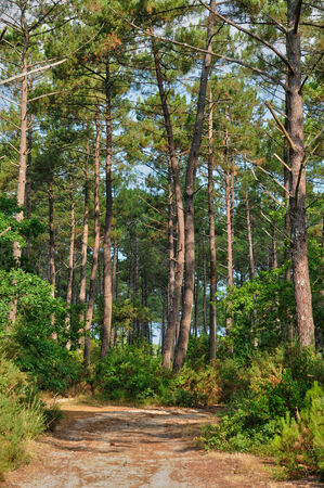 landes:  France, maritime pines in La foret des Landes Stock Photo