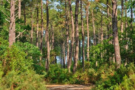 France, maritime pines in La foret des Landes Imagens