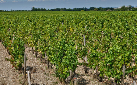 gironde: France, the vineyard of Saint Julien Beychevelle in Gironde