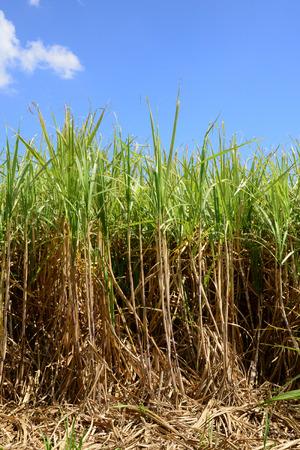 mauritius: Africa,  field of sugar cane in Mauritius