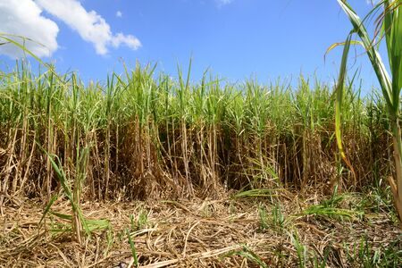 suger: Africa,  field of sugar cane in Mauritius