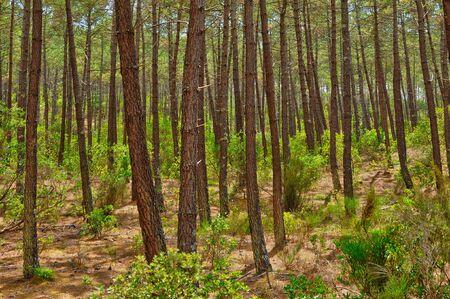 gascony: France, maritime pines in La foret des Landes Stock Photo