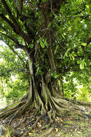 fig tree: France, a fig tree in Martinique