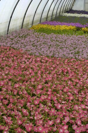 convection: flowers which are growing in a greenhouse in France