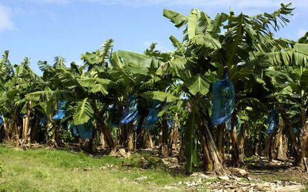 France, banana plantation in Martinique