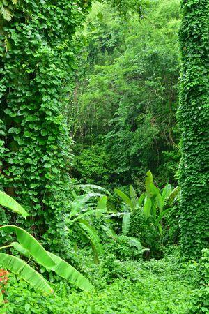 les: Martinique, the picturesque tropical forest in the village of Les Les trois Ilets