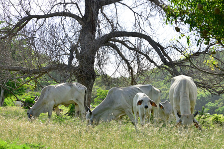 indies: Martinique, cows in a meadow in Sainte Anne in West Indies