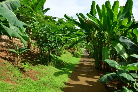 marie: Martinique, the banana museum of Sainte Marie in West Indies