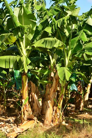indies: Martinique, a banana plantation in Le Vauclin in West Indies Stock Photo