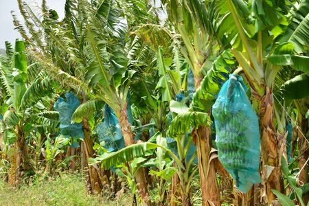 le: Martinique, a banana plantation in Le Francois in West Indies Stock Photo