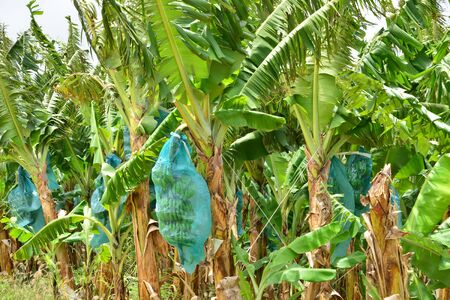 indies: Martinique, a banana plantation in Le Francois in West Indies Stock Photo
